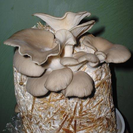 Culture de champignons sur buches de bois - Anlier Habay