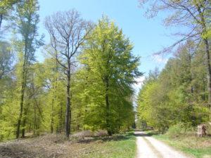 les chênes ont des feuilles moins vite que les hêtres au printemps